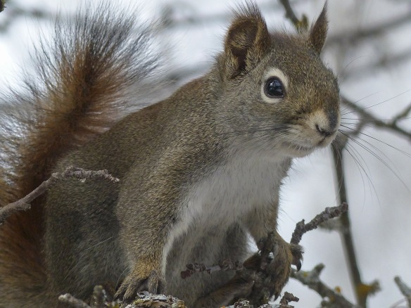 squirrel-300236_1280